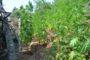 Έβρος: Συνελλήφθη 38χρονος που καλλιεργούσε ολόκληρη χασισοφυτεία!