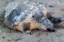 Nεκρή θαλάσσια χελώνα στον Αη Γιάννη