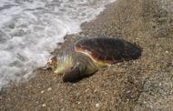 Νεκρή χελώνα καρέτα-καρέτα εντοπίστηκε στο Πόρτο Μόλο
