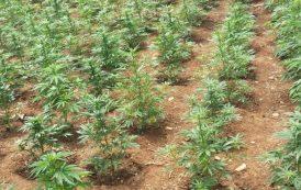 Έβρος: 55χρονη καλλιεργούσε 113 χασισόδενδρα!
