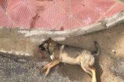 Άγνωστοι έριξαν φόλες στα σκυλιά του «Παρατηρητή της Θράκης»!
